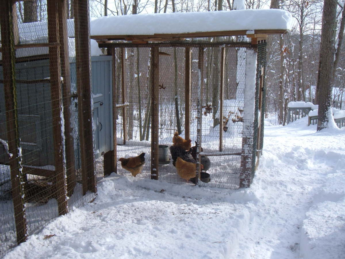 Chickens like the snow and cold, but not drafts in the hen house.