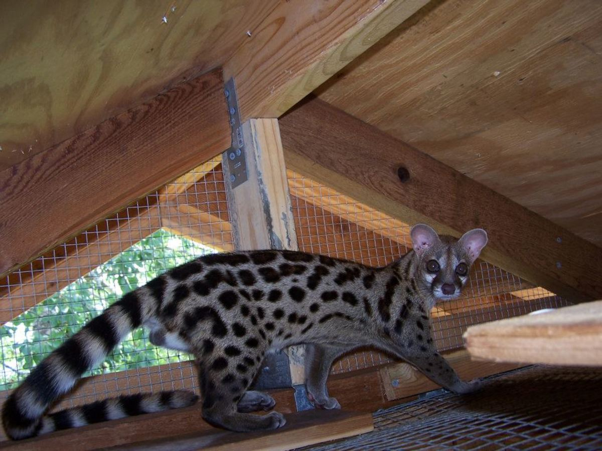 This is a large spotted genet.