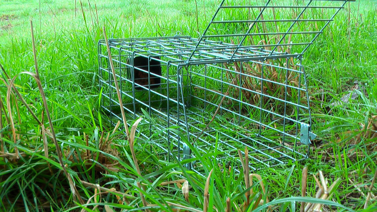 Use a cage or call a Humane Society to catch it for you.