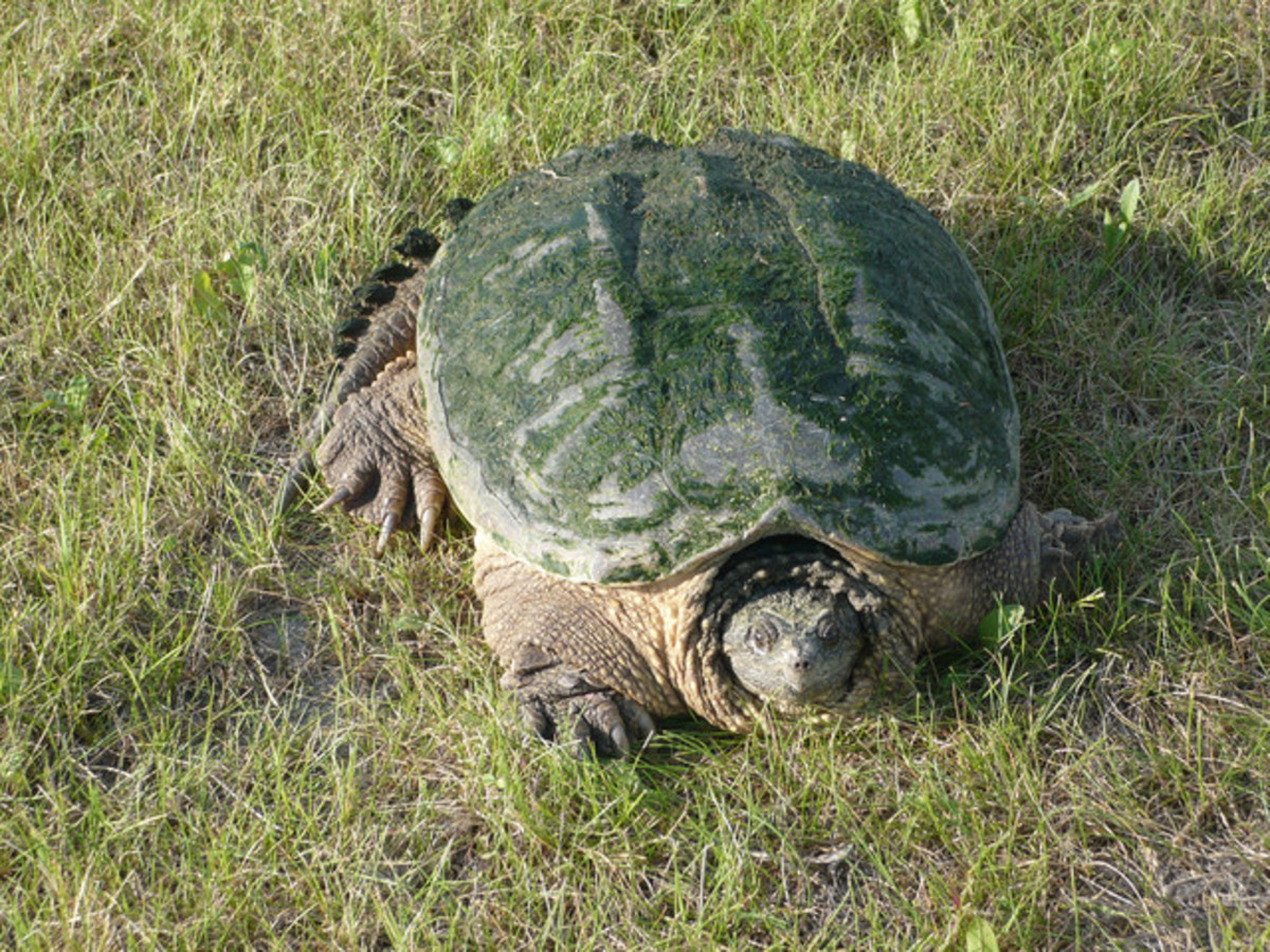 This is an adult. Snapping turtles can grow up to or larger than this.
