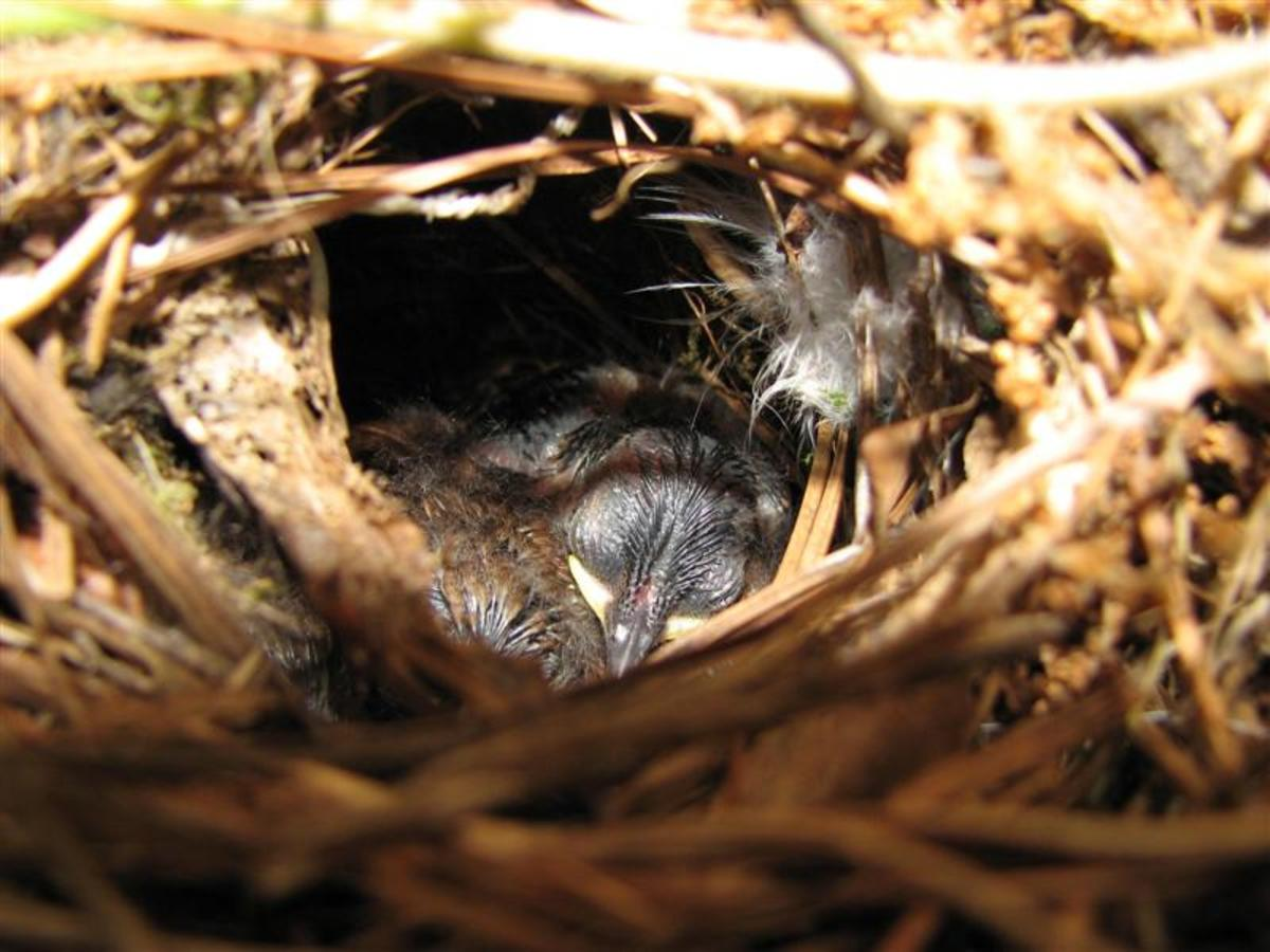 Young Carolina Wrens growing feathers.