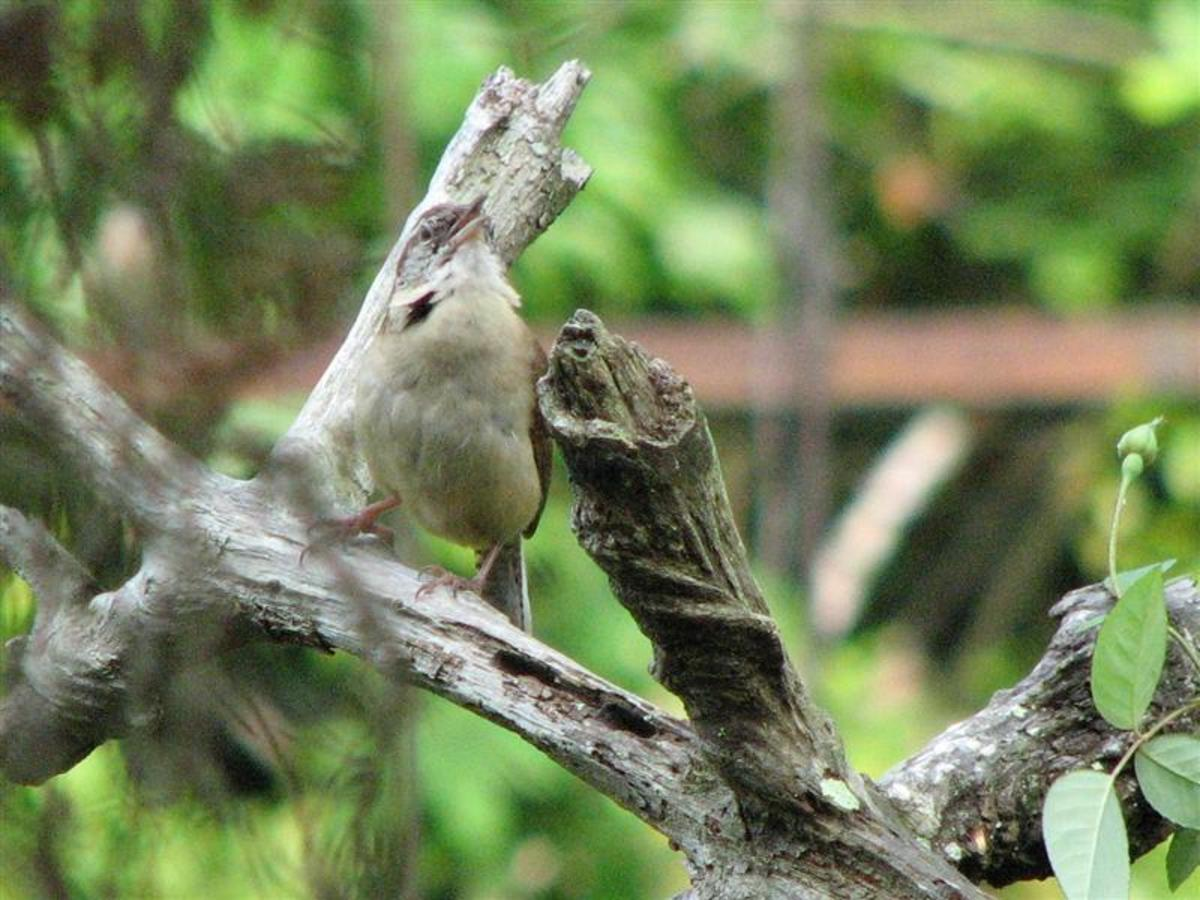 The male Carolina Wrens sing loudly and often.