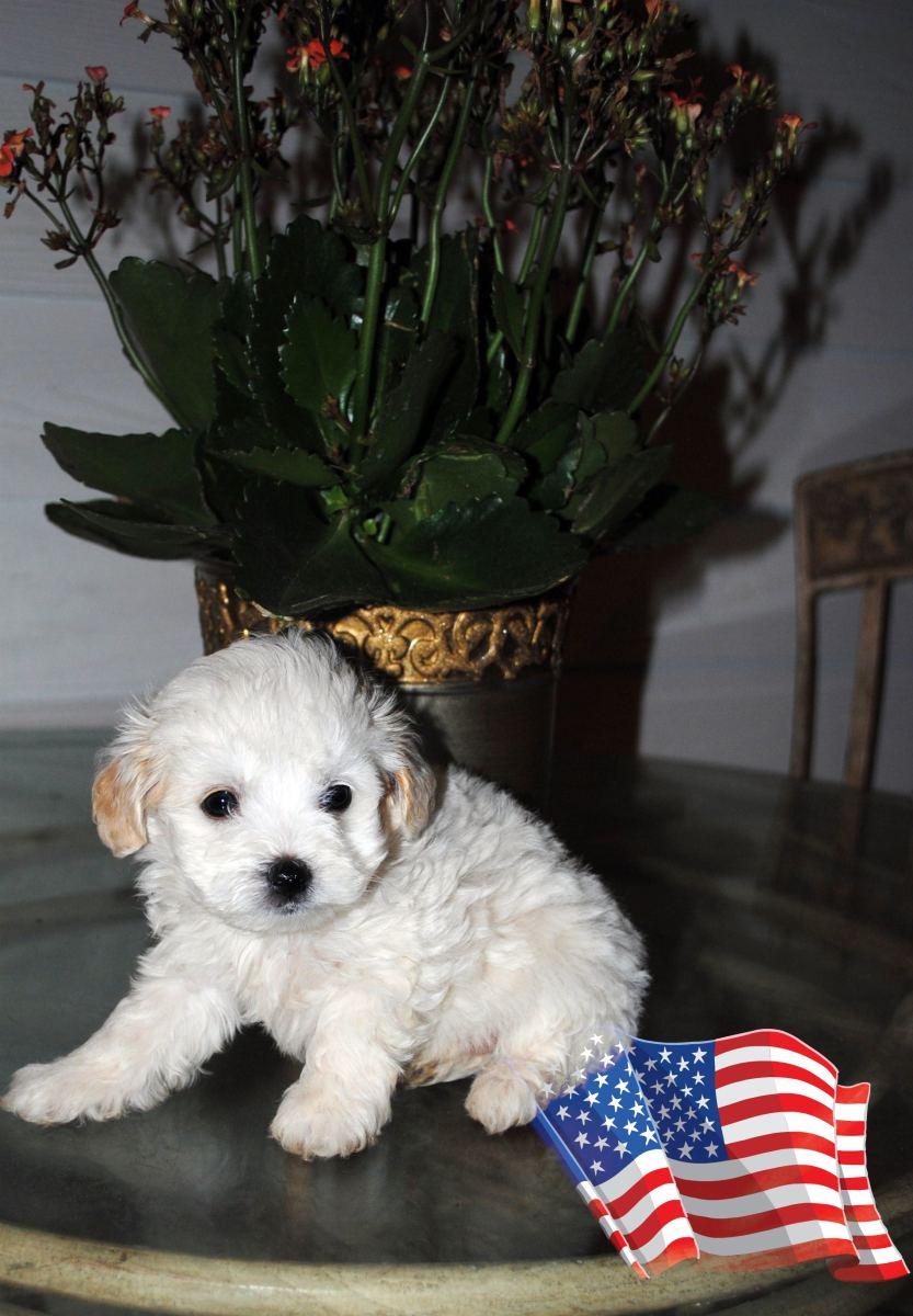 Maltipoo/Maltepoo puppy