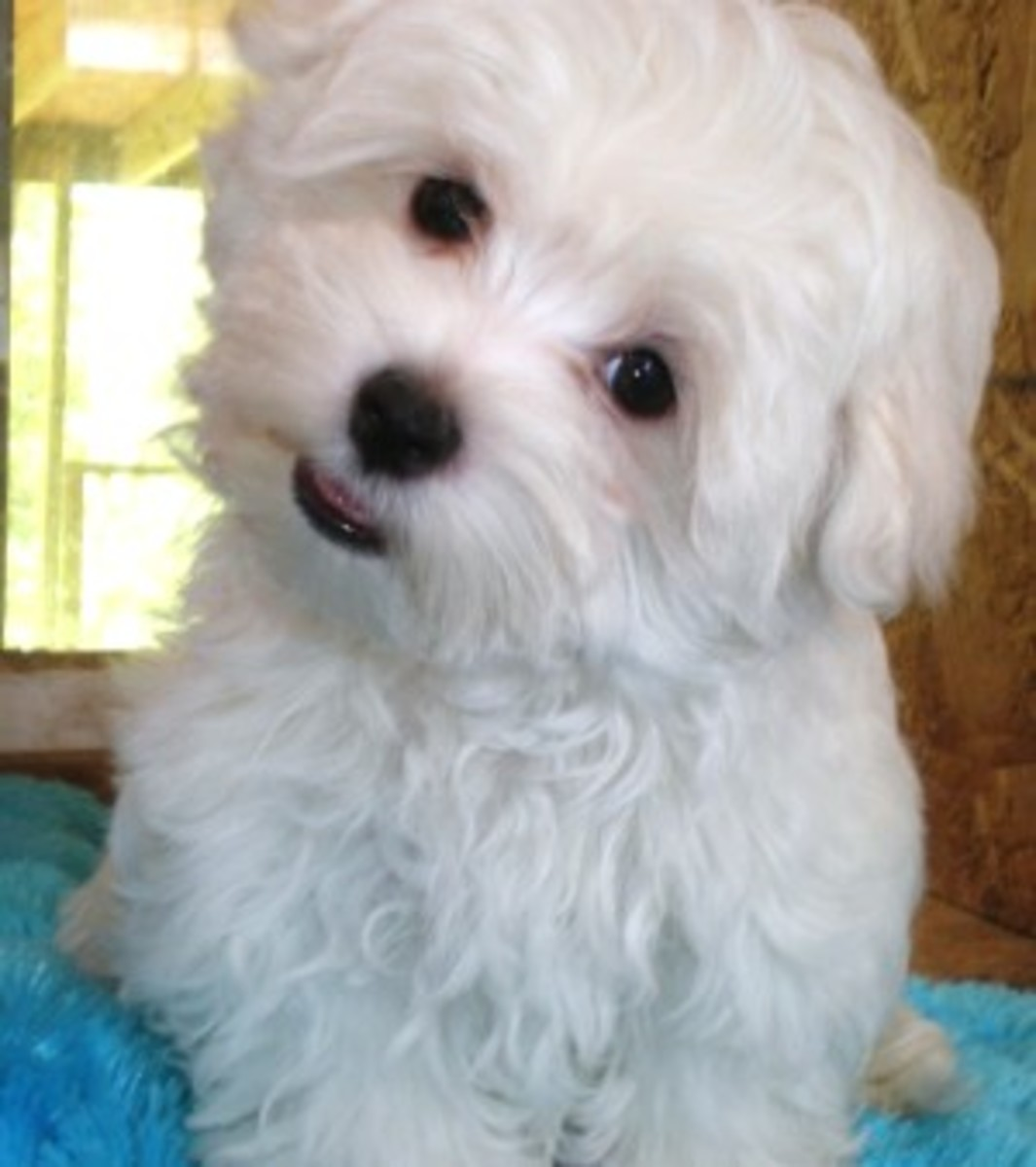 12-week-old Maltese puppy.