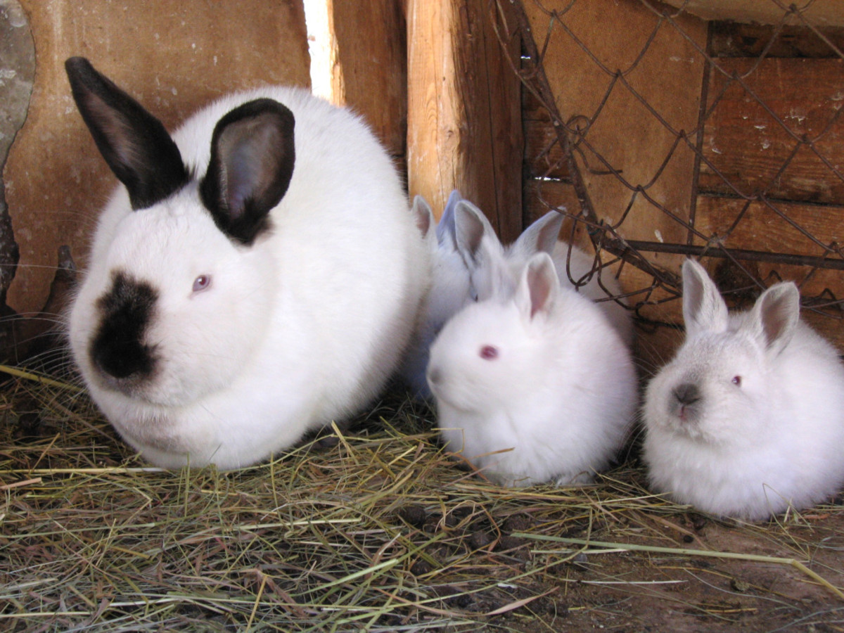 This domestic female California rabbit (with kits) may die if put through sterilization surgery. With pet rabbits, it is best to only sterilize the males.