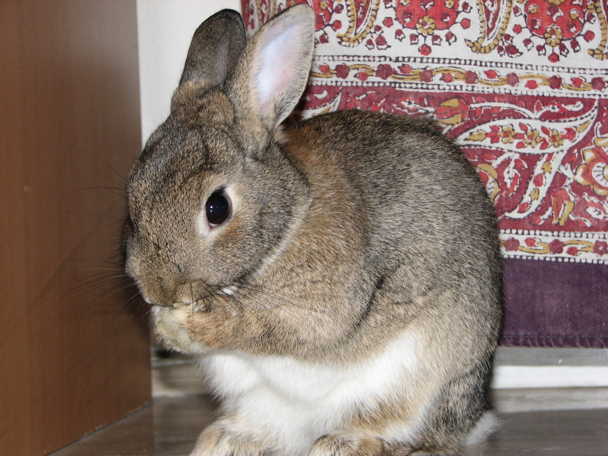 Rabbits have delicate bodies and bones. If living with young children, a rabbit can easily be injured, perhaps fatally so, after being mishandled by a child.
