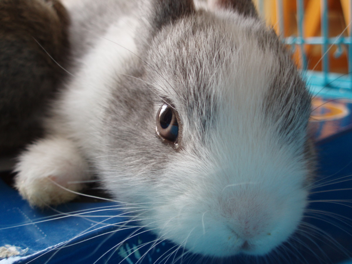 Loud sounds can scare a rabbit to the point of causing a heart attack. The rabbit may go into shock and die a few days later.