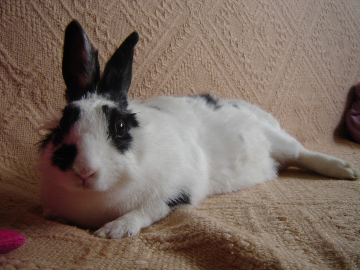 A rabbit may have a history of health problems that the seller does not disclose.