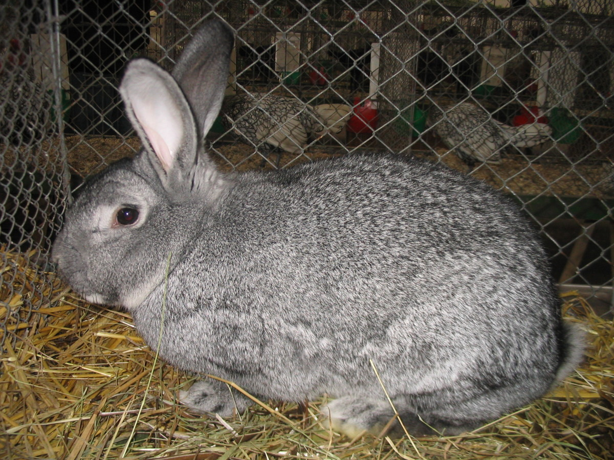A female rabbit that aborts a pregnancy in late term may not be able to absorb the fetal tissue. The dead kits may become toxic inside her, resulting in death.