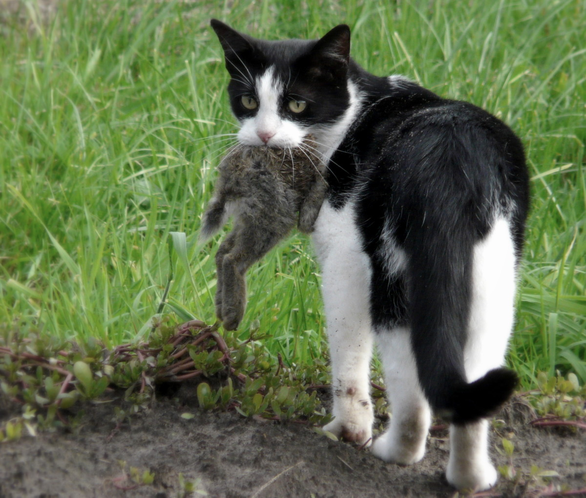 Cats, dogs, and ferrets are hunting animals and can easily catch and kill a domestic rabbit.