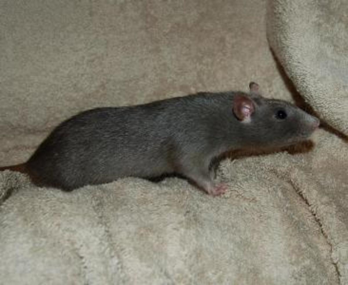 now that 39 s a rat of a different color fancy rat varieties pethelpful. Black Bedroom Furniture Sets. Home Design Ideas