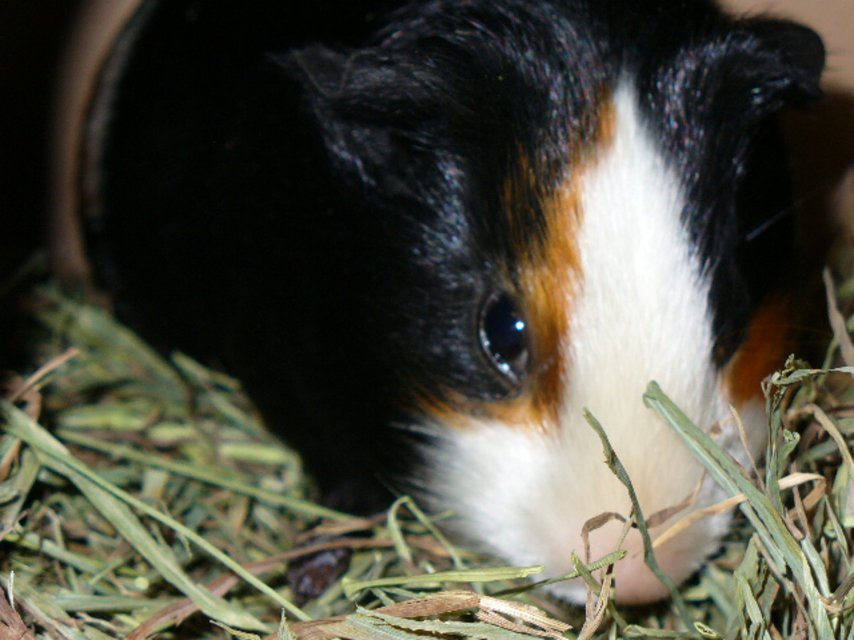 This cavy is enjoying a delicious pile of timothy hay!