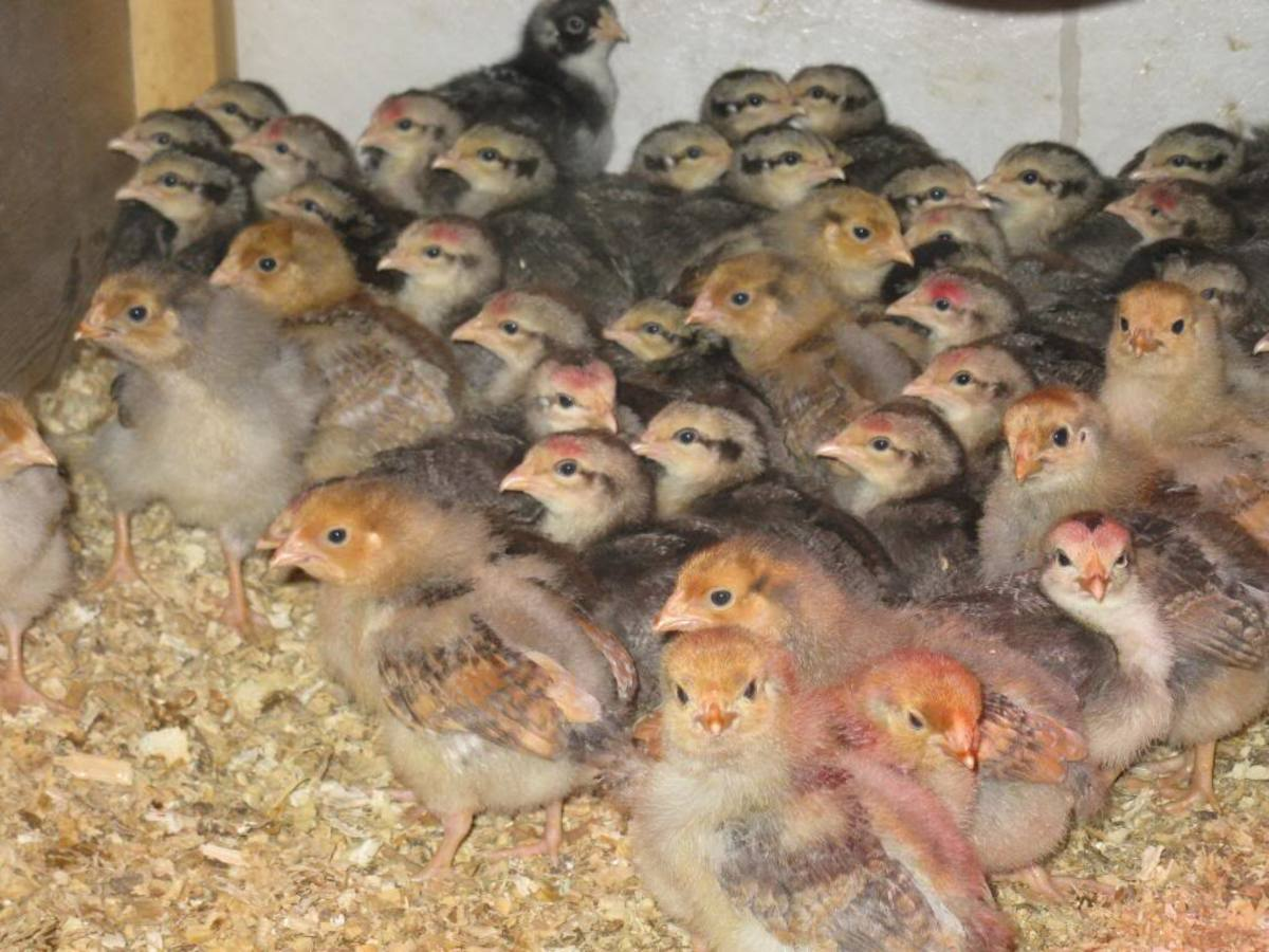 A large group of attentive Silver Grey Dorking chicks with a few Blue Laced Red chicks in front. Male SGDs have red dot on head.