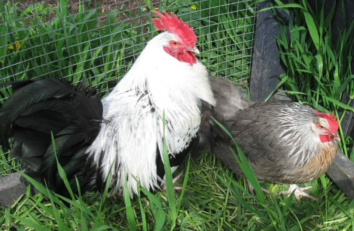 Young Silver Grey Dorking cockeral and pullet