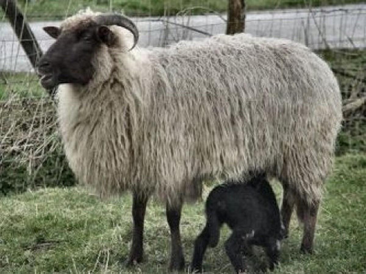 Nursing ewe