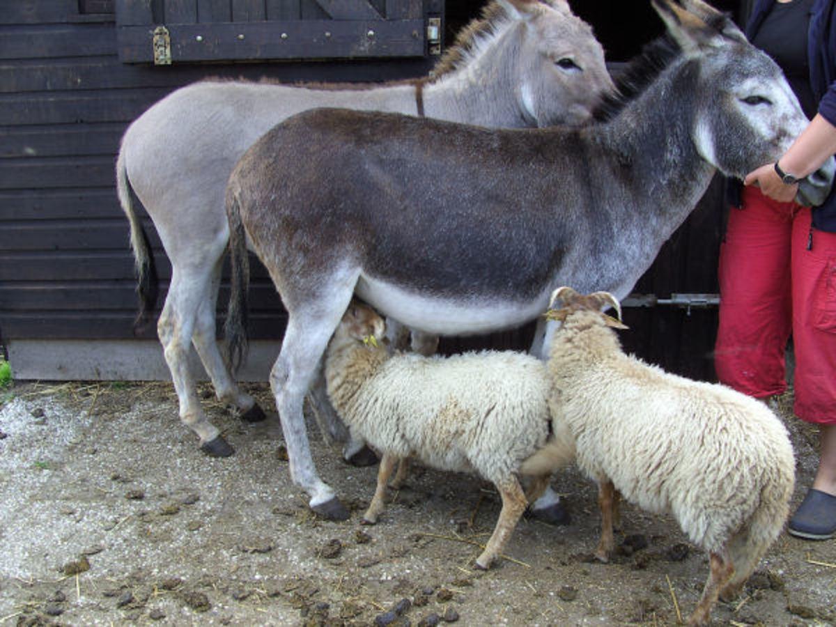 A donkey feeding a lamb.