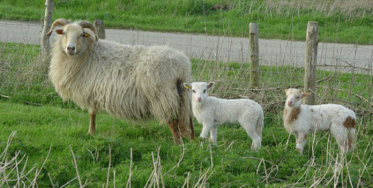 Ewe with adopted lamb