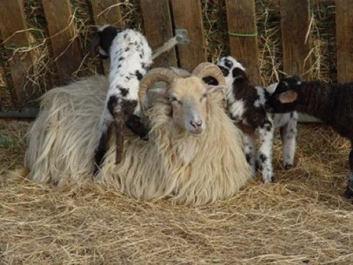 Lambs like to climb, either on their mom or on something else.