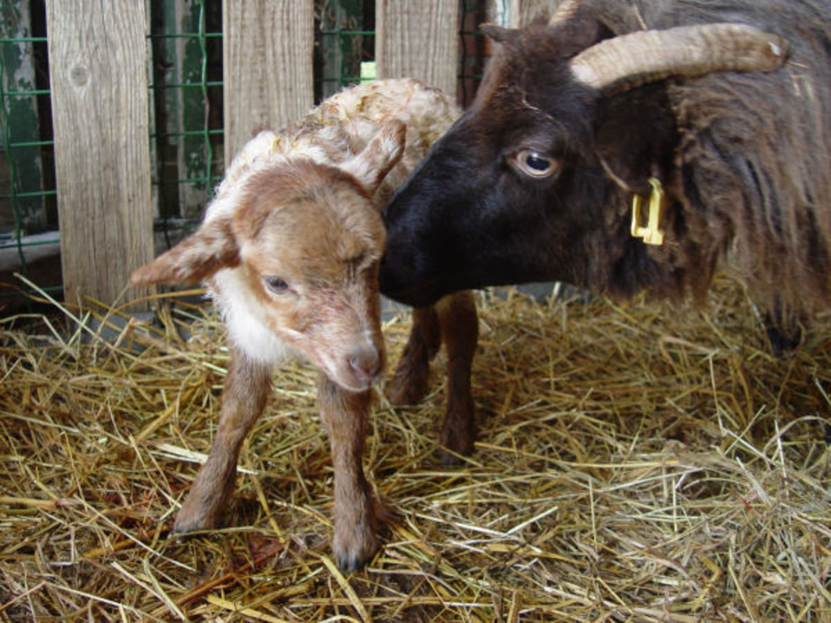 A lamb and its mother.