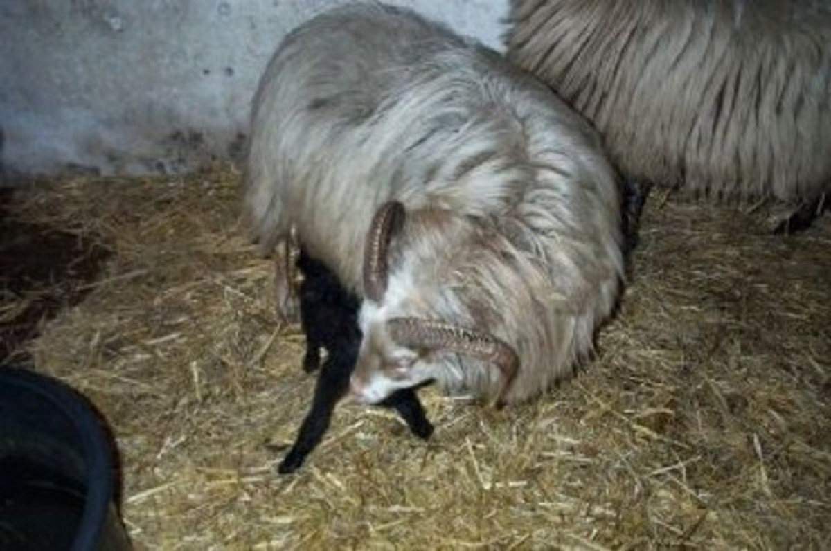 The Best Way to Take Care of a Rejected Lamb | PetHelpful