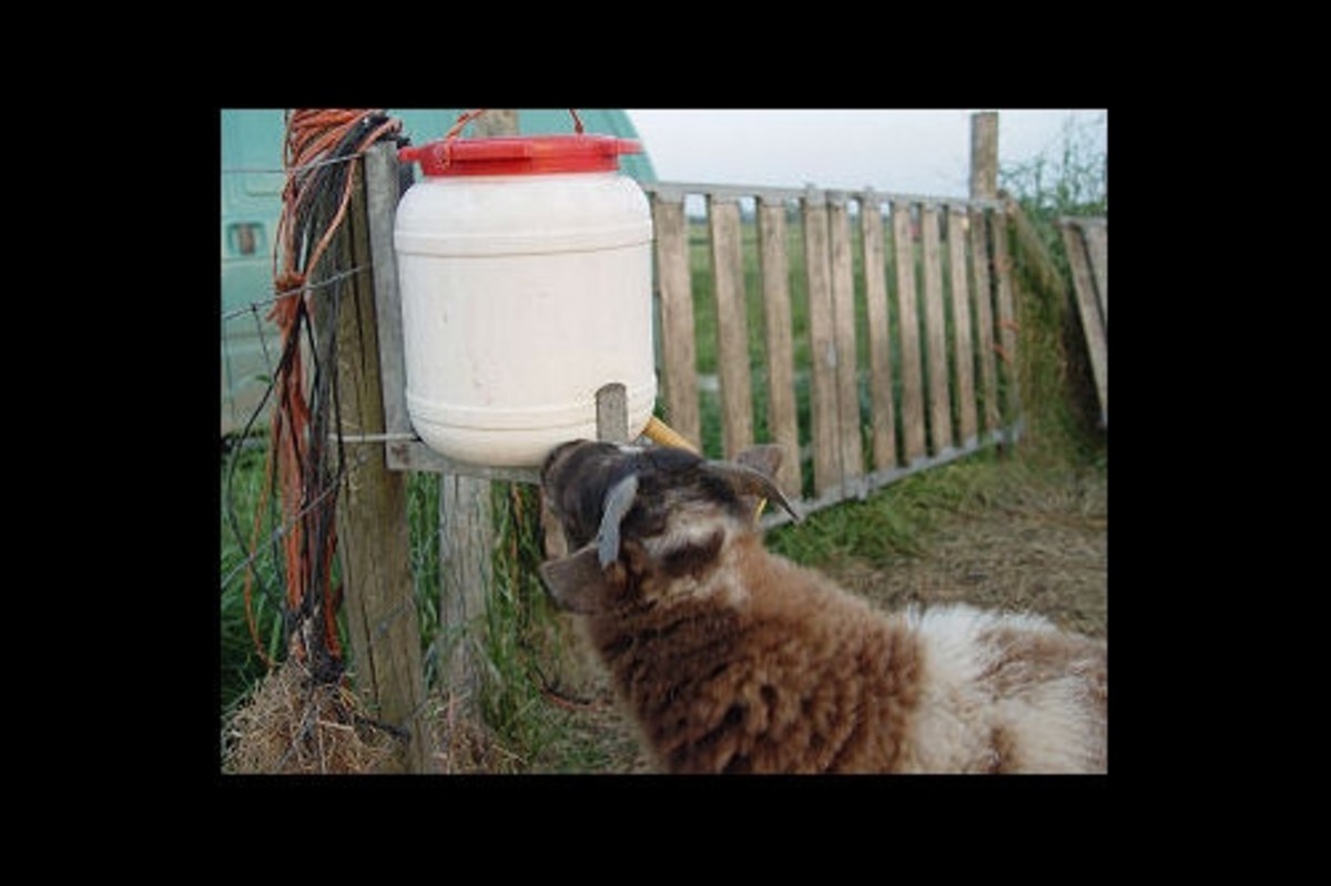 How to bottle feed a lamb