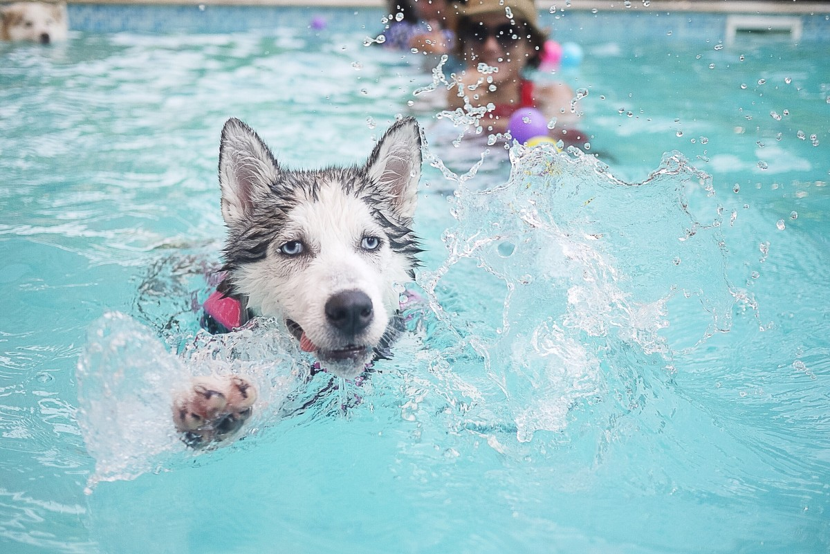A Siberian Husky in a swimming pool