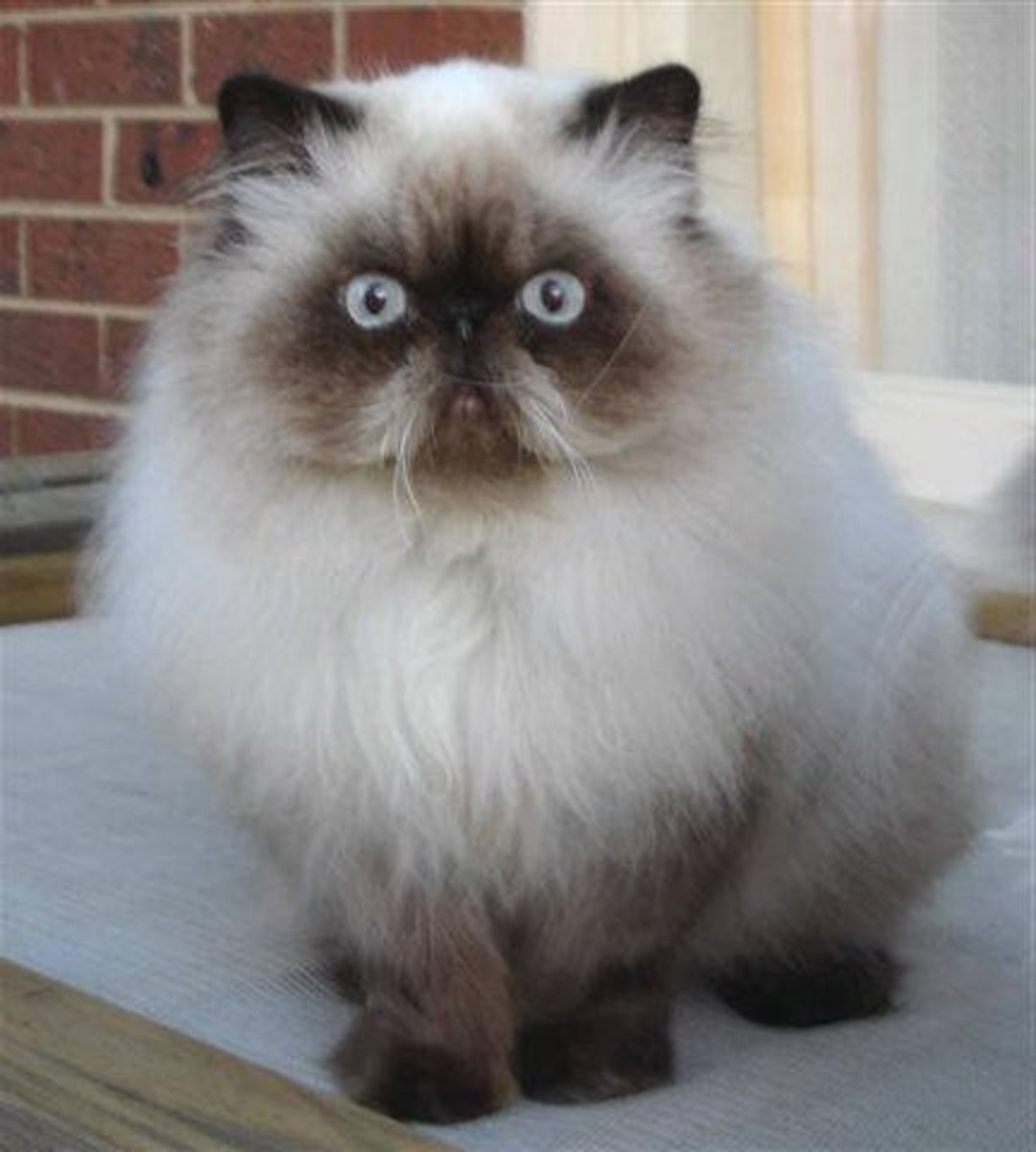 Himalayan-Persian Cat