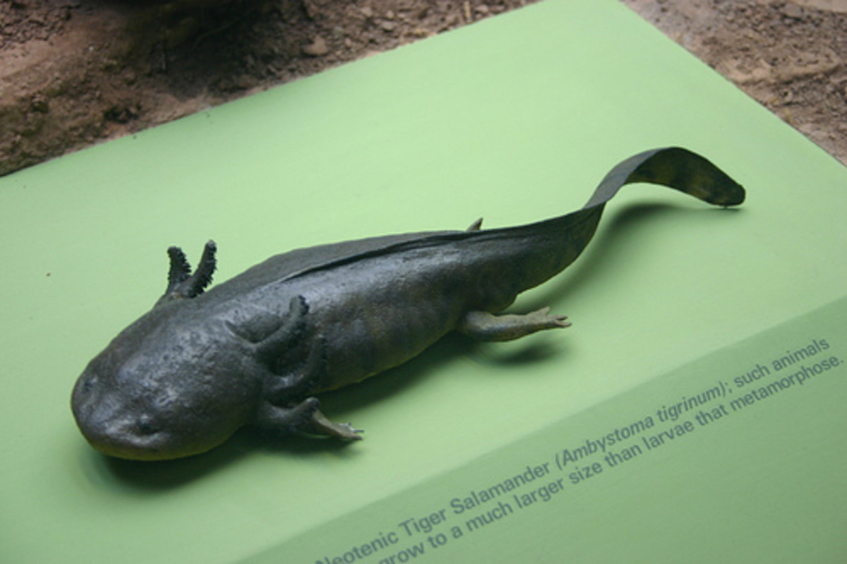 Neotenic Tiger Salamander: a neotenic is a salamander that reaches sexual maturity with out losing its aquatic features.  In-other-words, it does not outgrow the larval stage.  It is unclear why some salamanders do this.