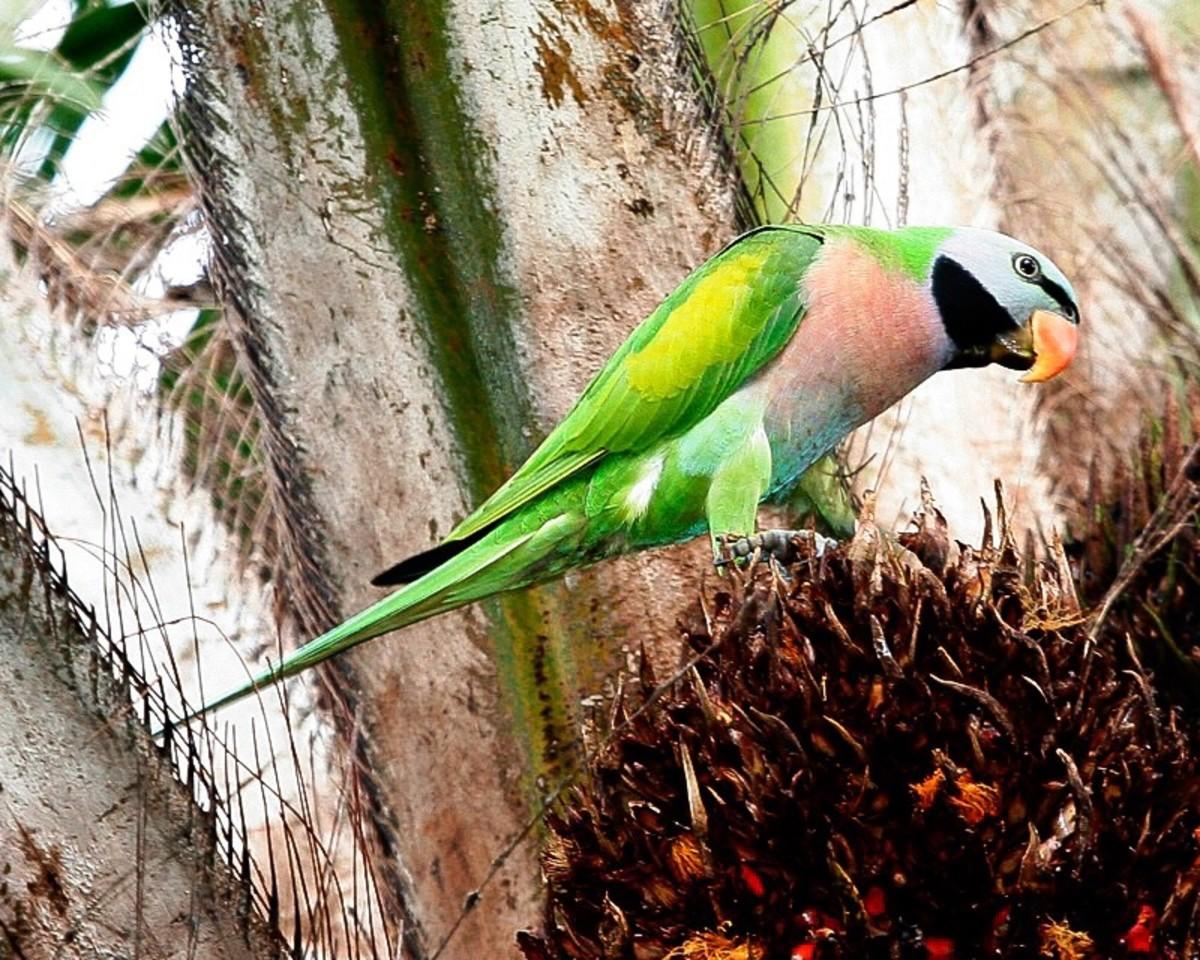 A moustache parakeet in a botanical garden