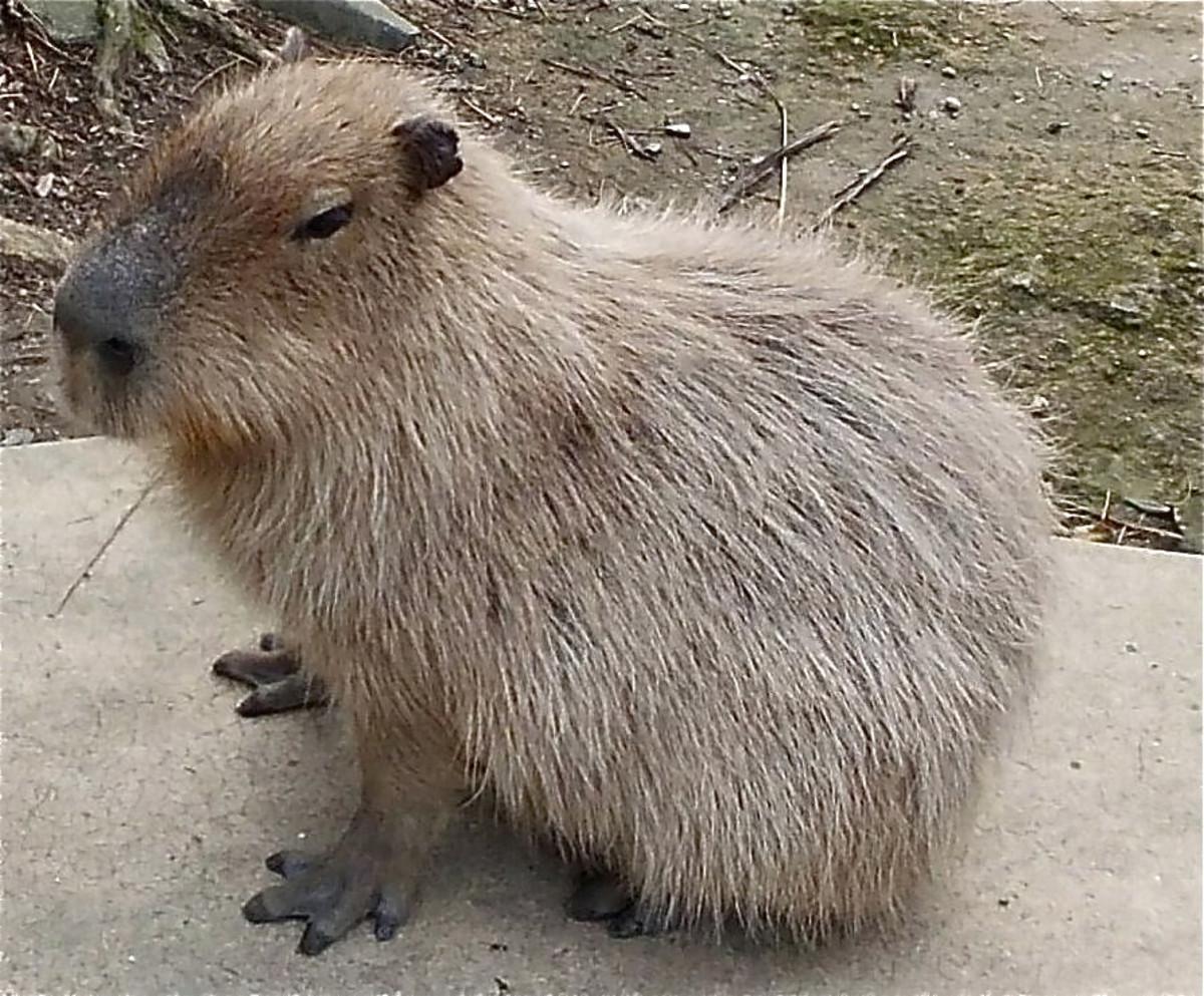 A capybara at Nagasaki Bio Park