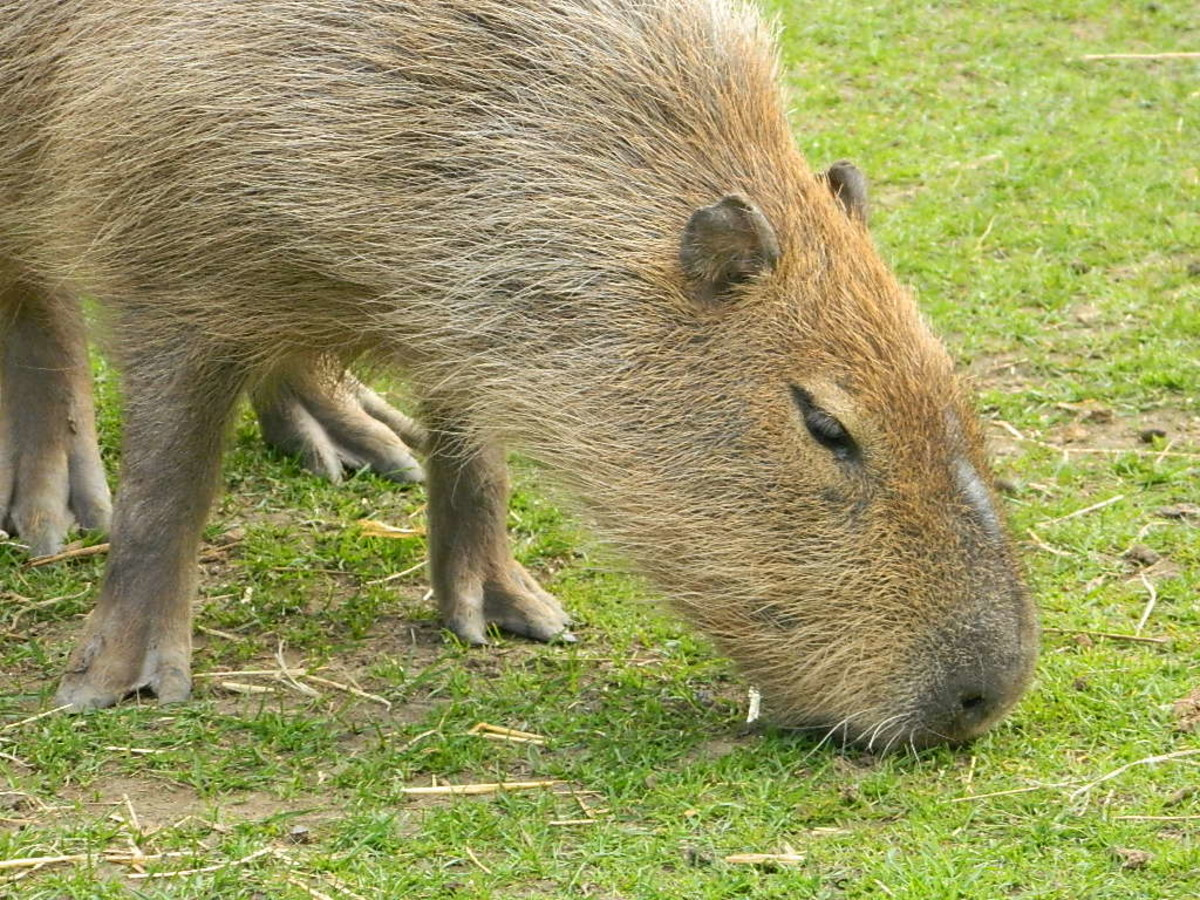 A capybara grazing at Shepreth Wildlife Park in the UK