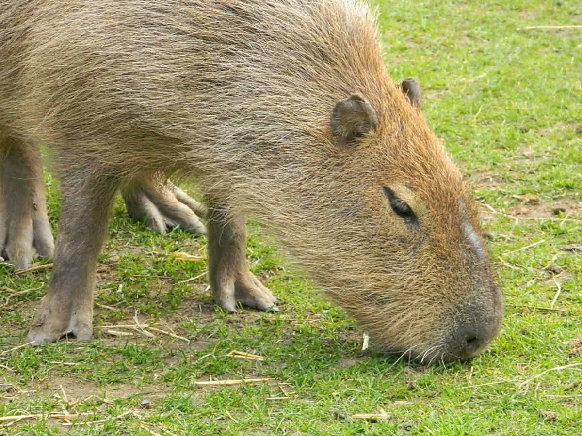 A capybara grazing at Shepreth Wildlife Park in the UK