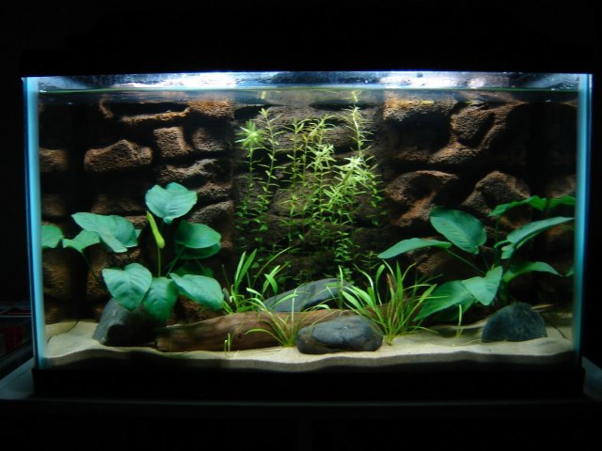Anubias featured in a 10 Gallon Planted Tank. The two large plants are perfect for beginners.