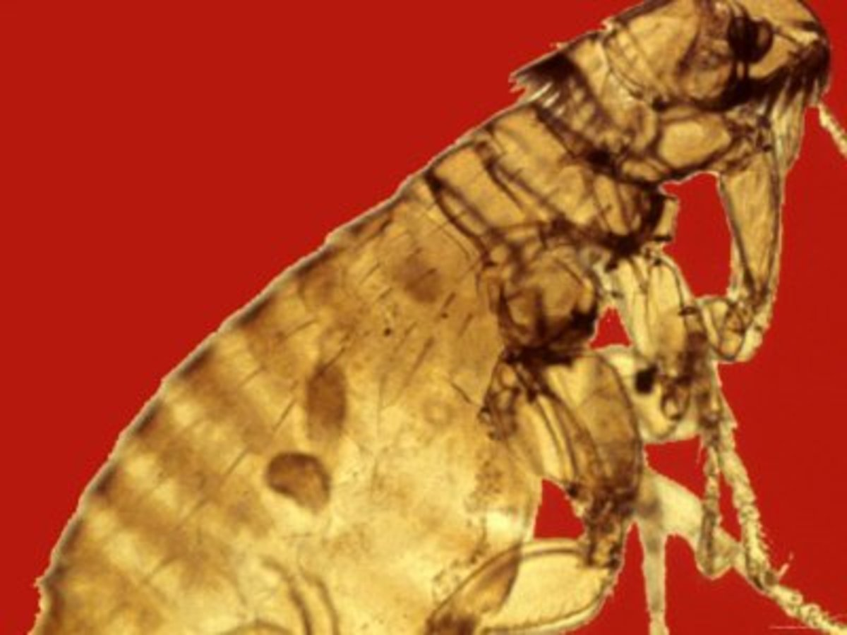 Flea on a Red Background!