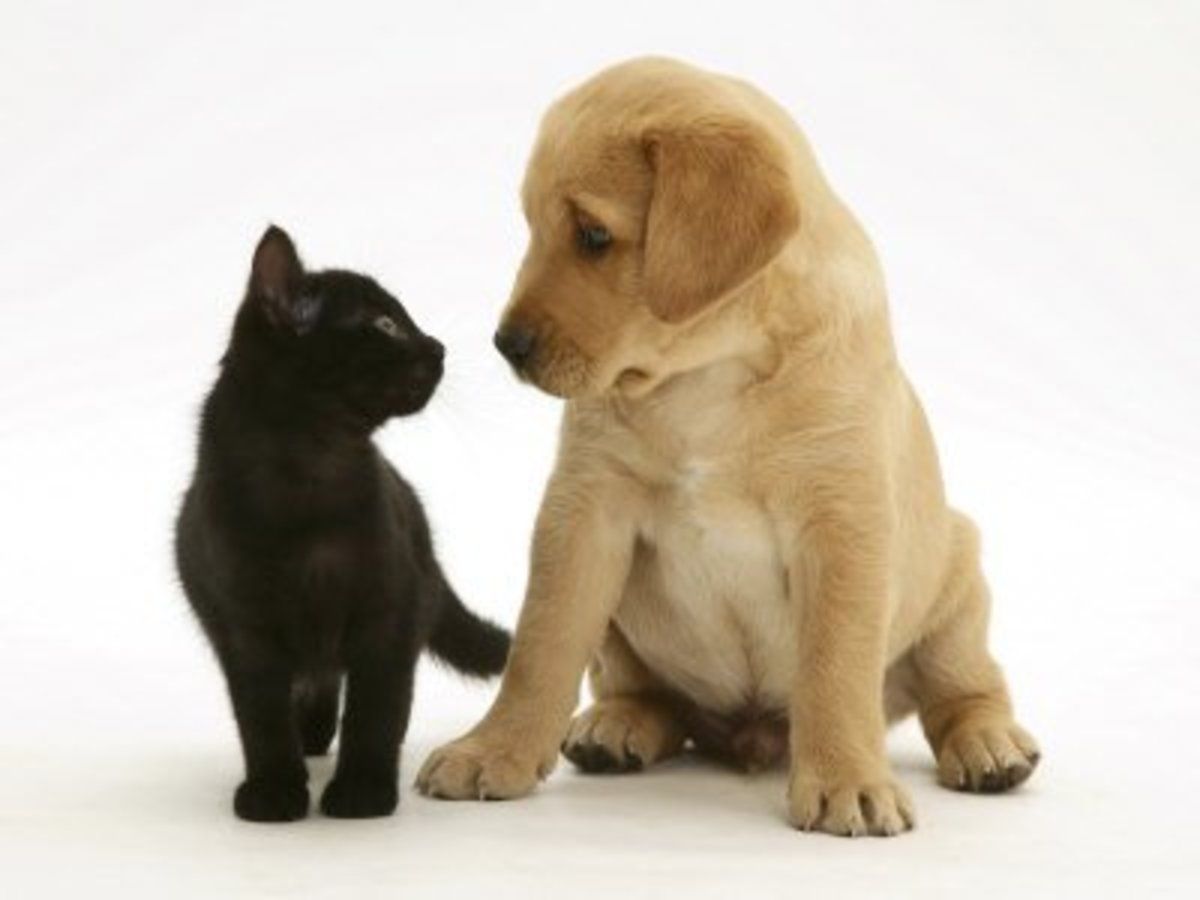 Black Domestic Kitten (Felis Catus) and Labrador Puppy (Canis Familiaris) Looking at Each Other, by Jane Burton