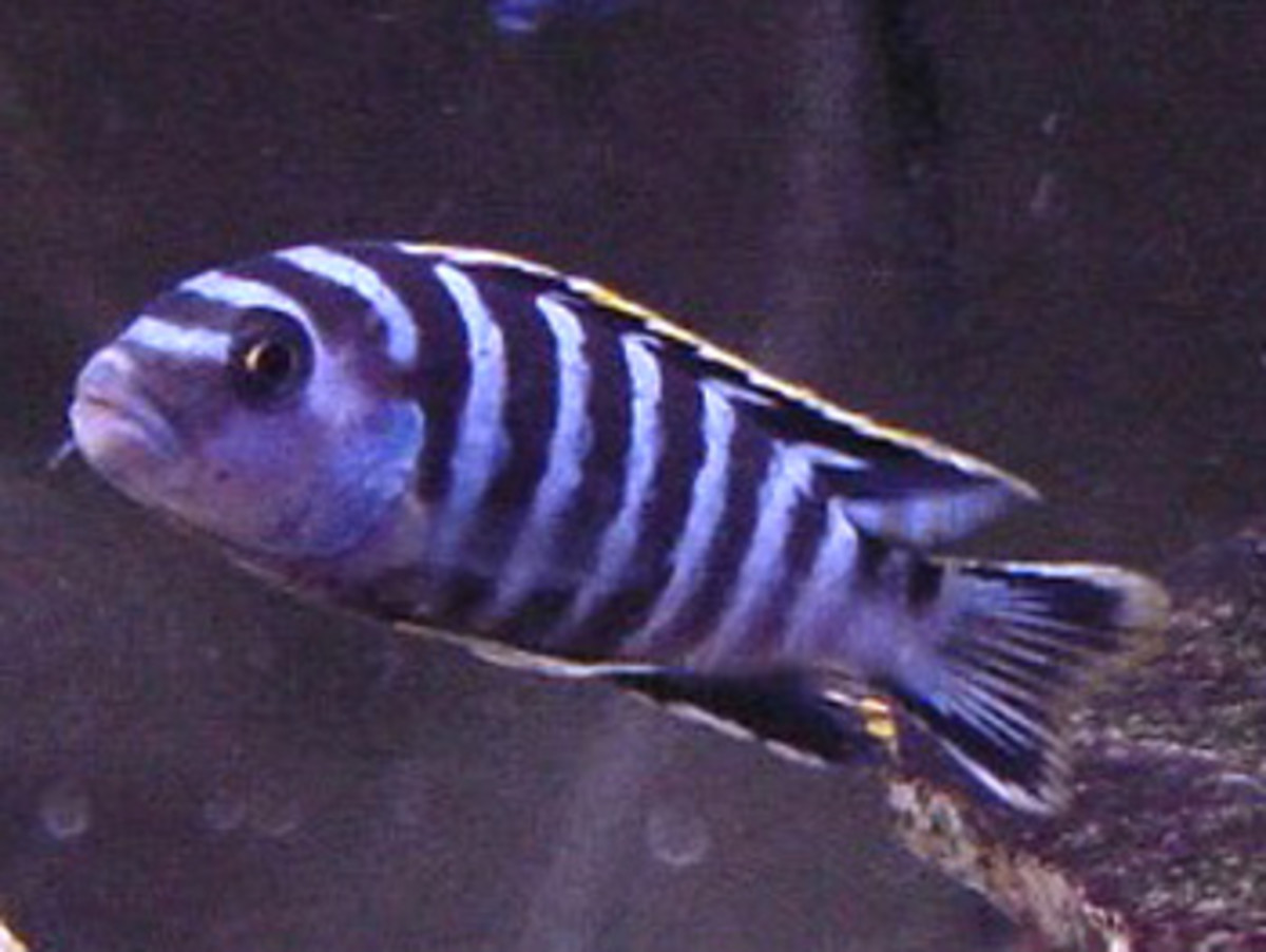 Lake Malawi Cichlids 6, The Right Nutrition and Foods For Your African Cichlids