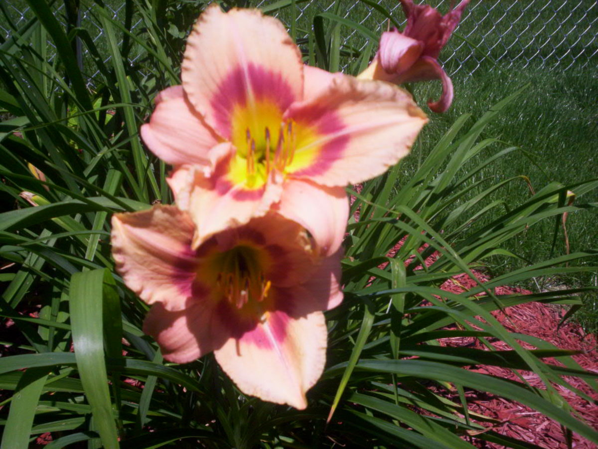 Daylilies  These are poisonous to cats, but just cause stomach upset in dogs. Keep your dog hydrated and if it becomes severe take them to the vet.