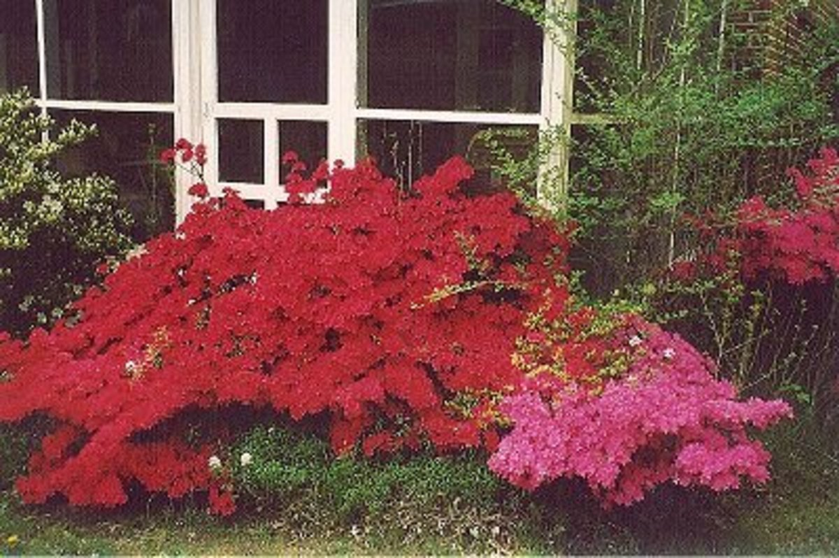 Azaleas are poisonous.