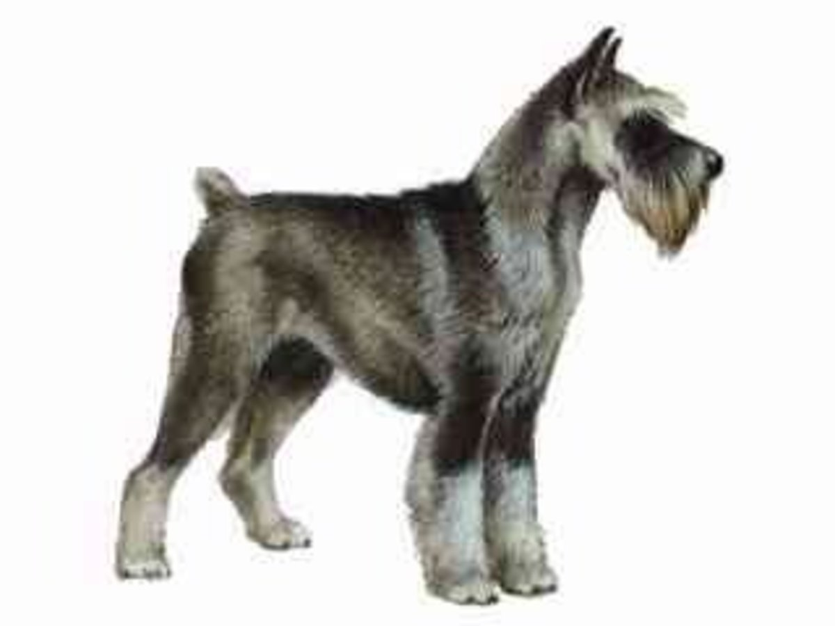 This schnauzer has cropped ears and a docked tail.