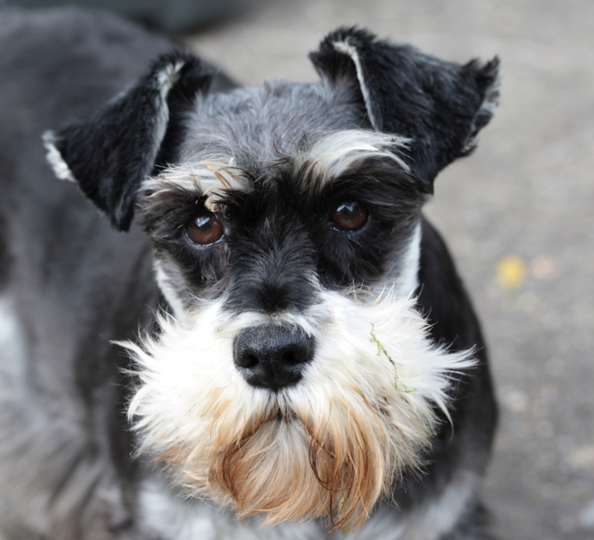 This is a black-and-silver miniature schnauzer with uncropped ears.