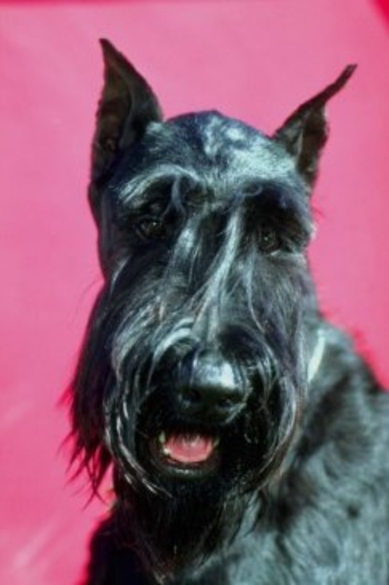 This giant schnauzer has black coloring and cropped ears.