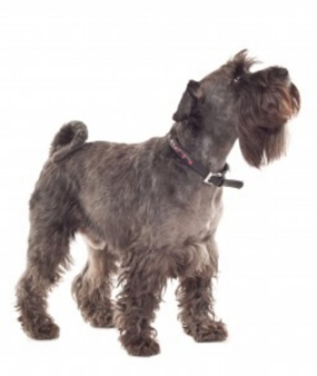 This is a salt-and-pepper schnauzer with an undocked tail.