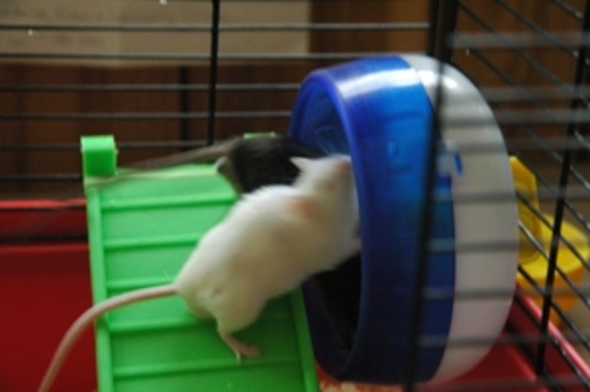 Sometimes, even mice who live together peacefully will have conflicts.