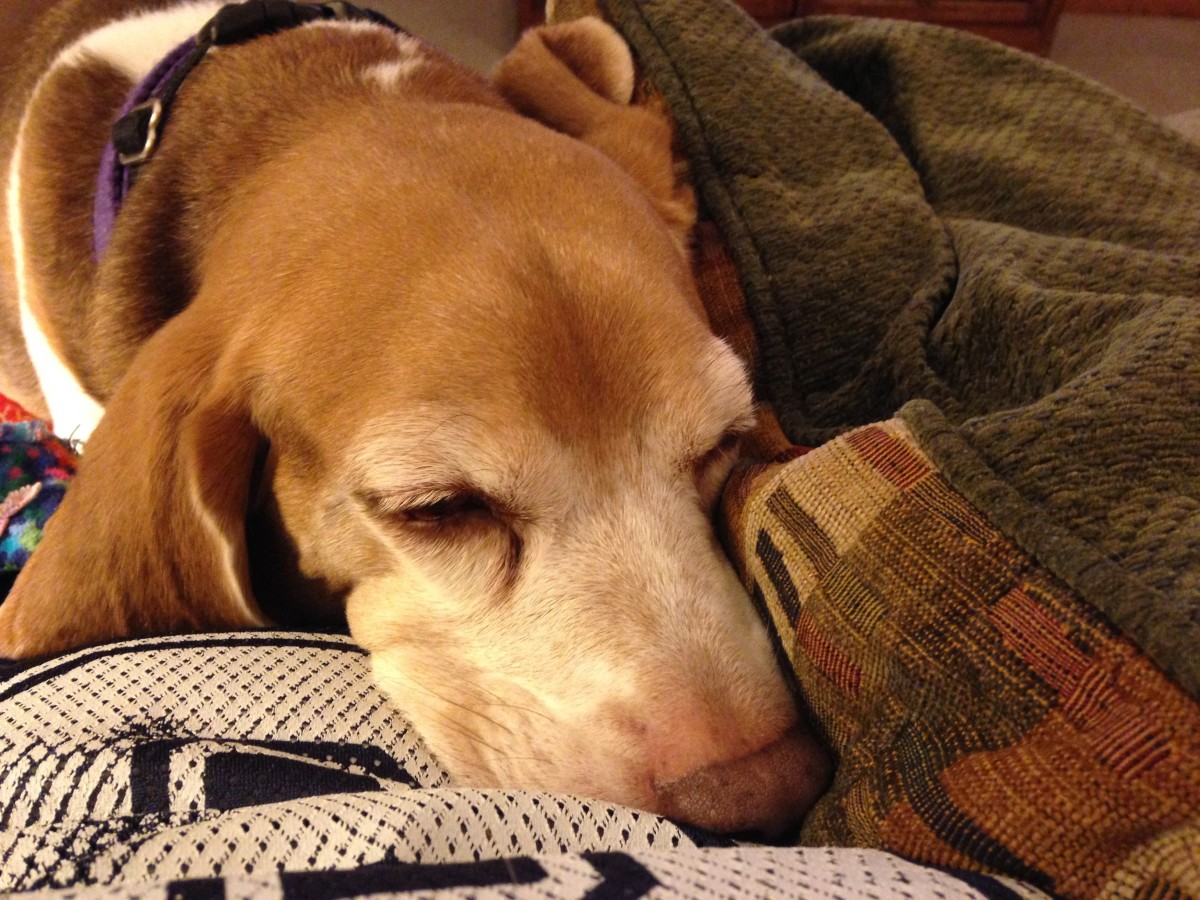 Dog Vomiting  Days After Spay