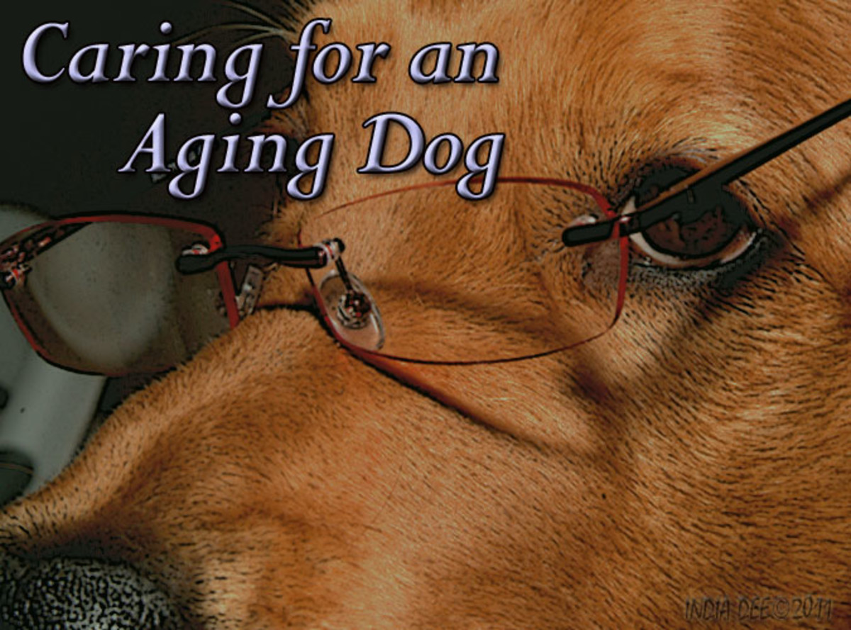 How to Care for an Aging Dog