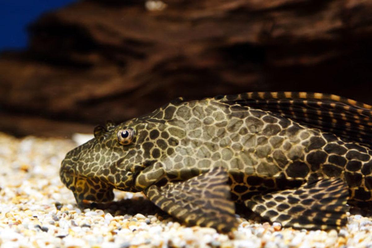 Plecostomus Catfish. Photo Courtesy of Petr Kratochvil