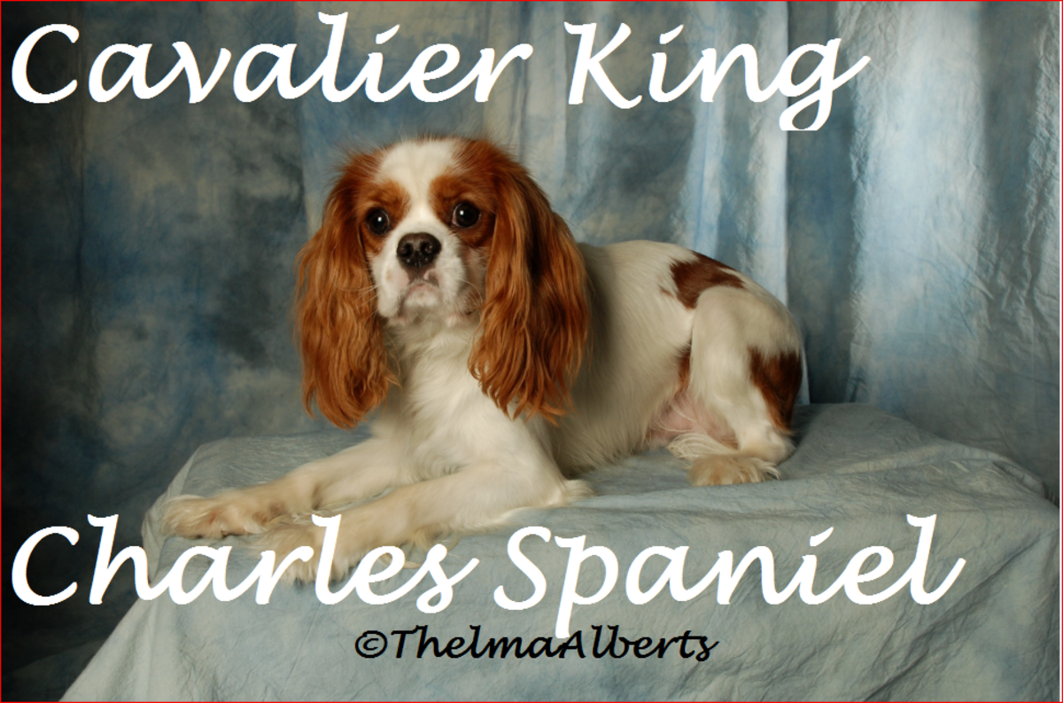 Angus, our Cavalier King Charles Spaniel dog.