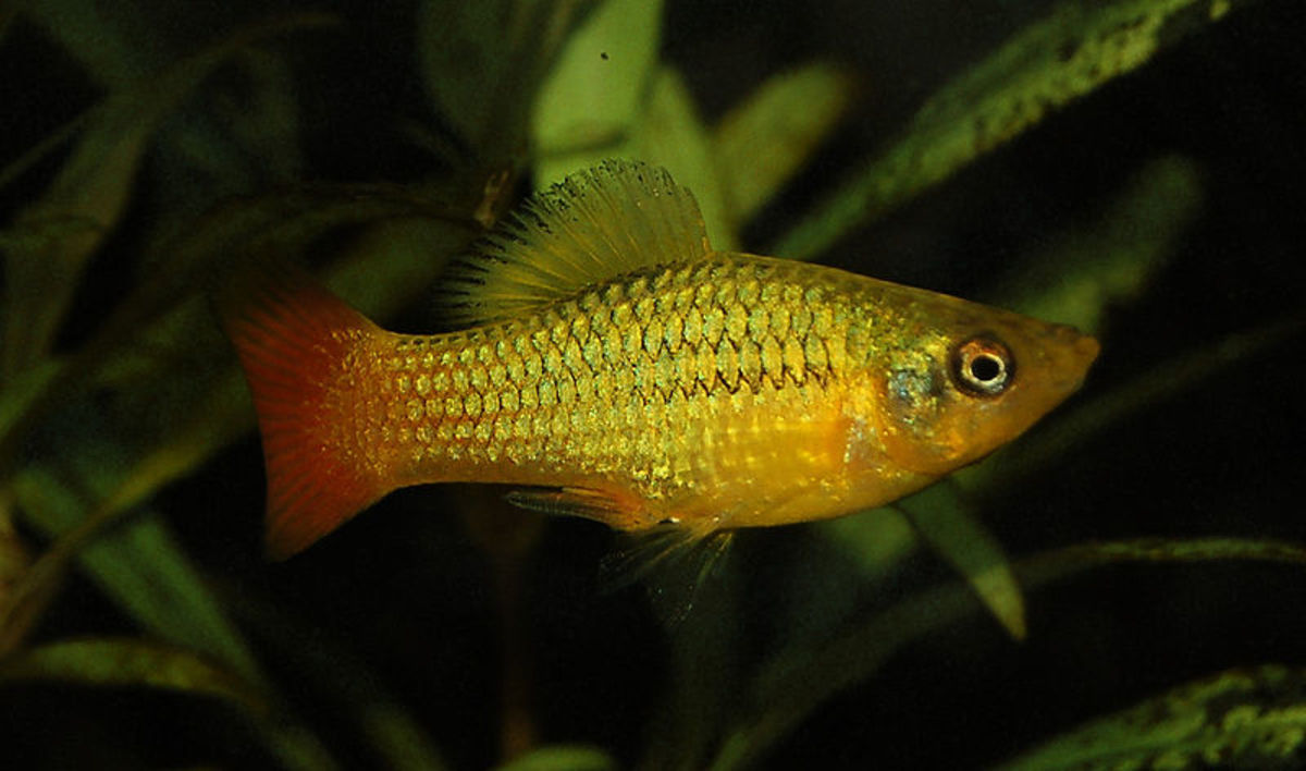 The best and worst beginner fish for your aquarium for Platy fish breeding