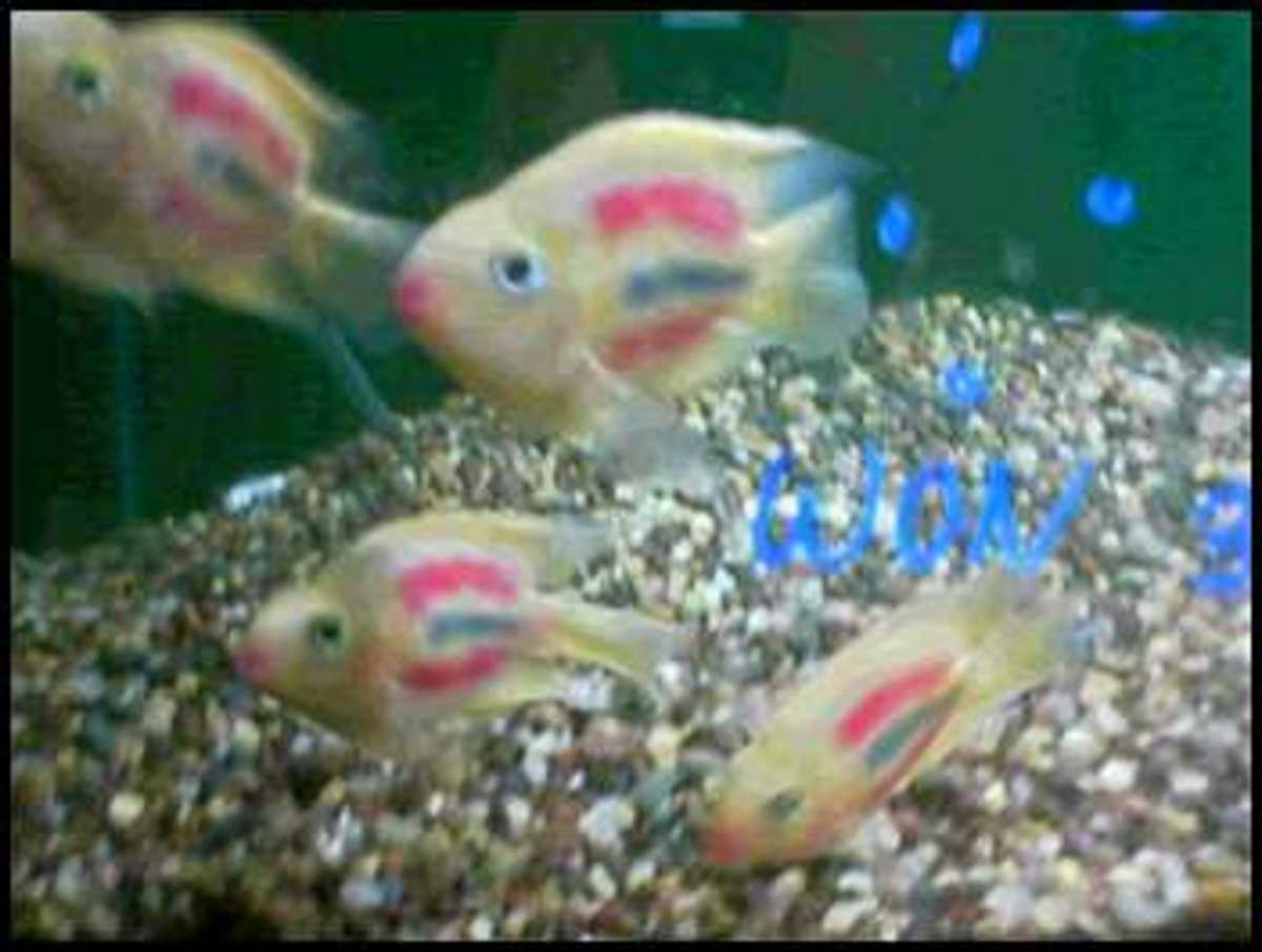 Beginner Fish Pets : Worst Beginner Fish: Dyed or Deformed Fish