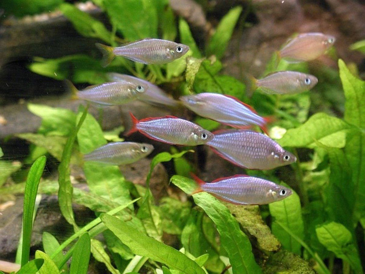 Neon Rainbowfish